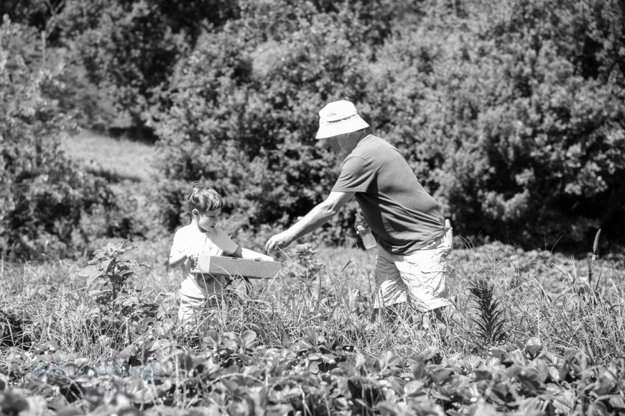Strawberry picking with Papa